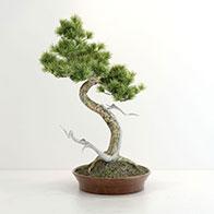 创意松树盆景3D模型