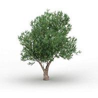 橄榄树3D模型
