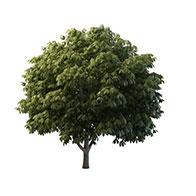 阔叶树3D模型
