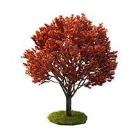 血皮槭3D模型