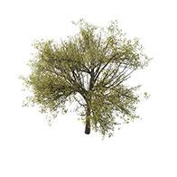 3D阔叶树模型