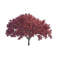 3D樱桃树模型